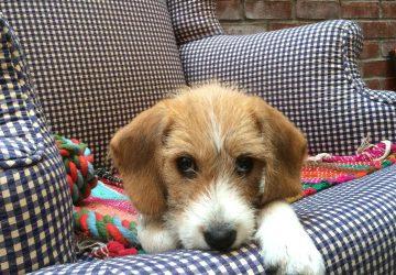 do dogs feel guilt