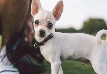 how to keep your Chihuahua's skin and coat healthy