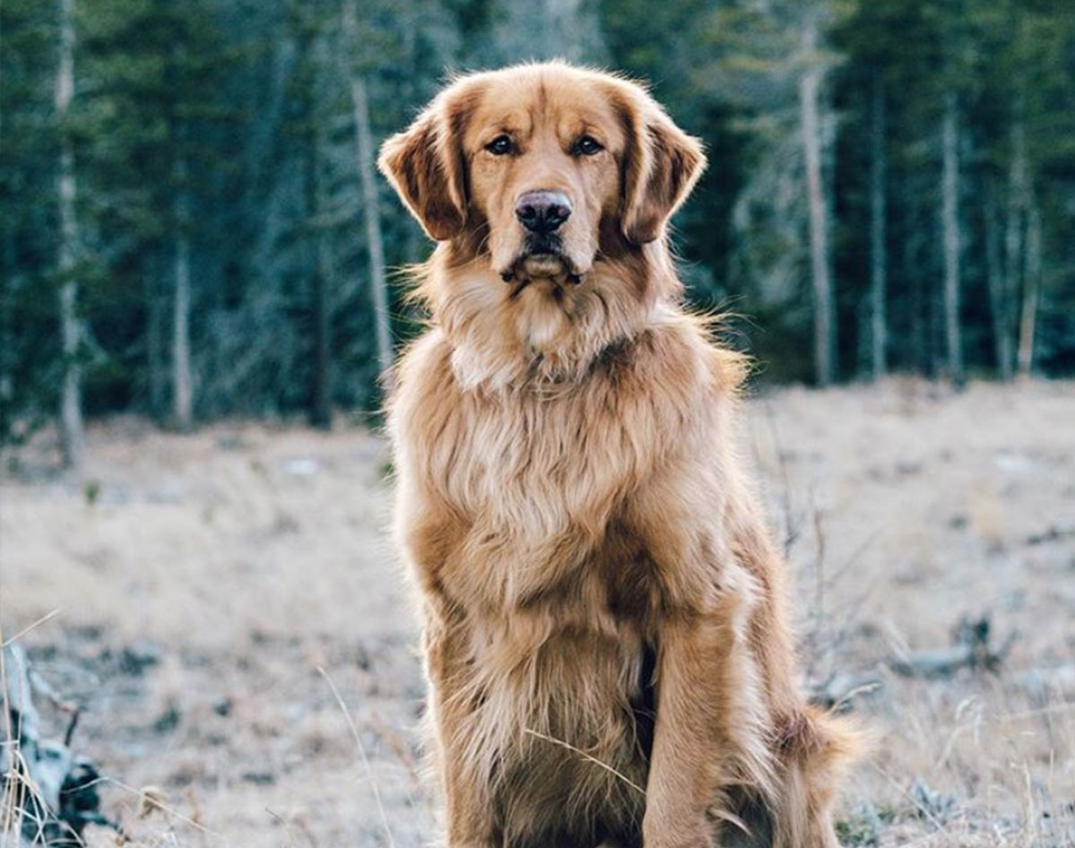 how to keep your golden retriever's skin and coat healthy