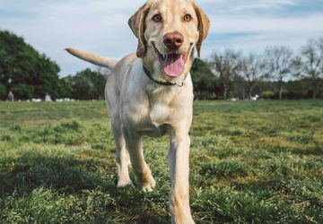 labrador skin and coat healthy
