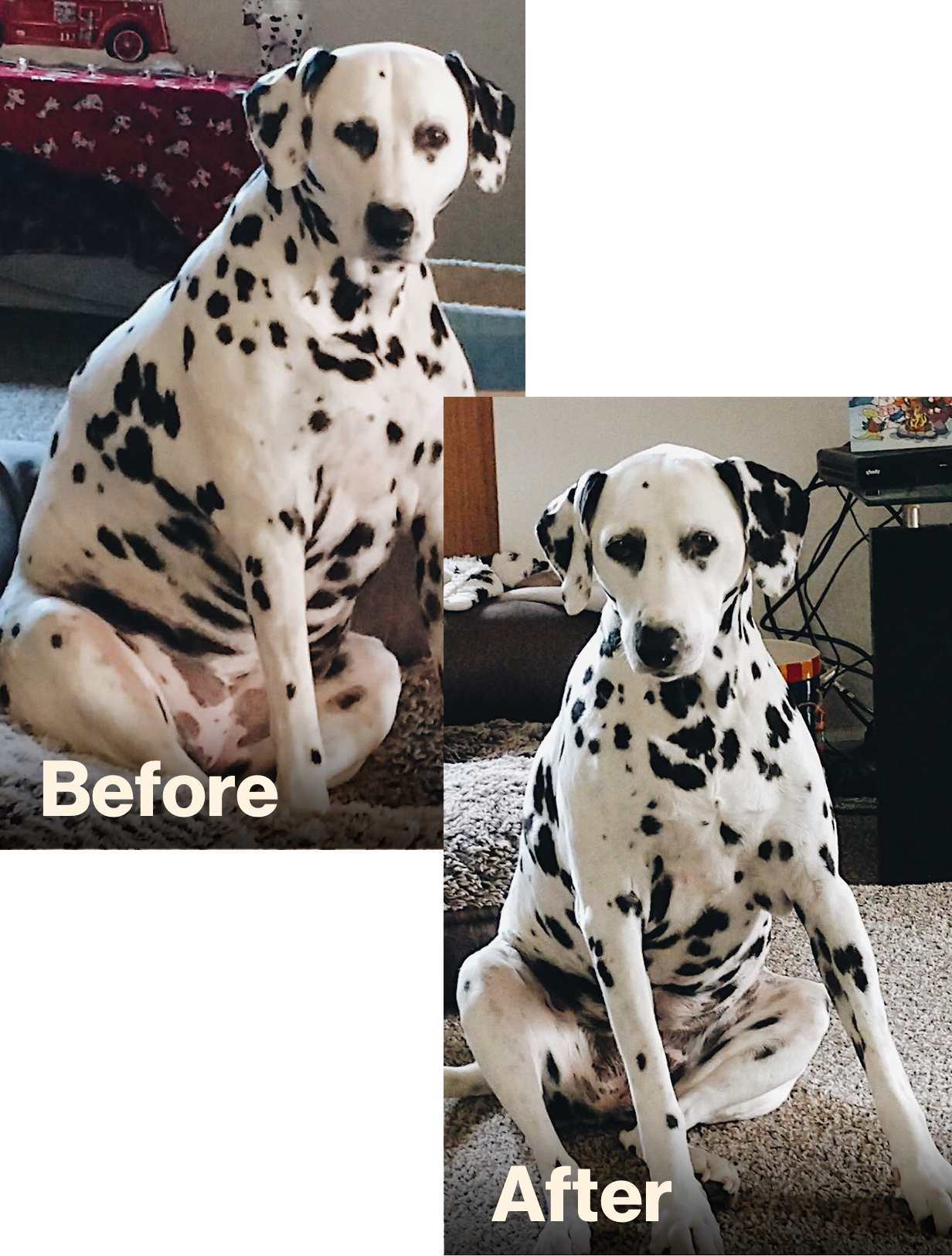 Jasmine-Obesity_Dalmation_before&after