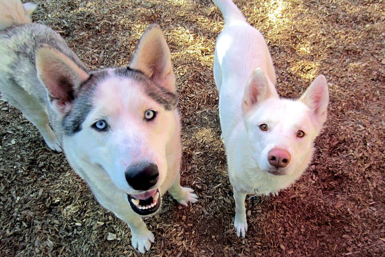 Huskies-LuckyHuskypair