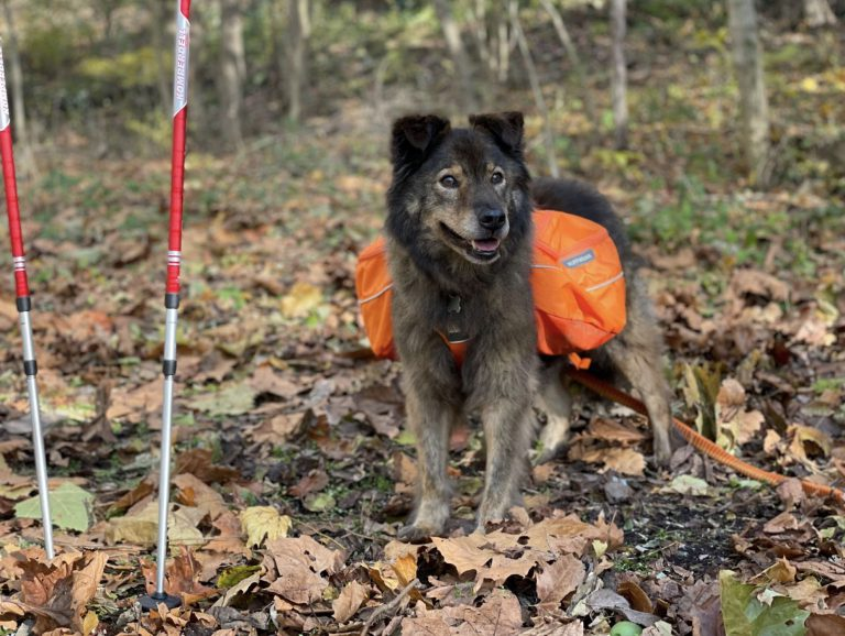 reuben, a chow/aussie mix, standing with his orange backpack on, next to hiking poles