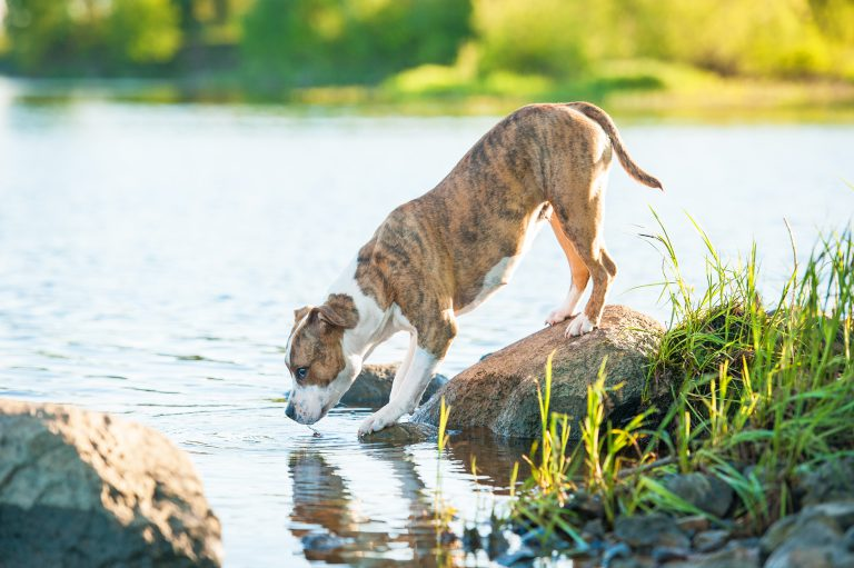 pitbull standing on a rock drinking water from river