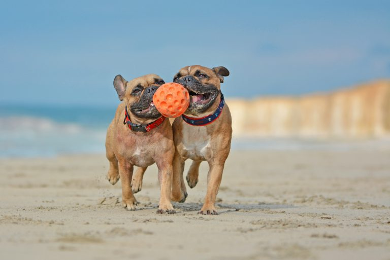 pair of fawn french bulldogs playing with a ball on the beach