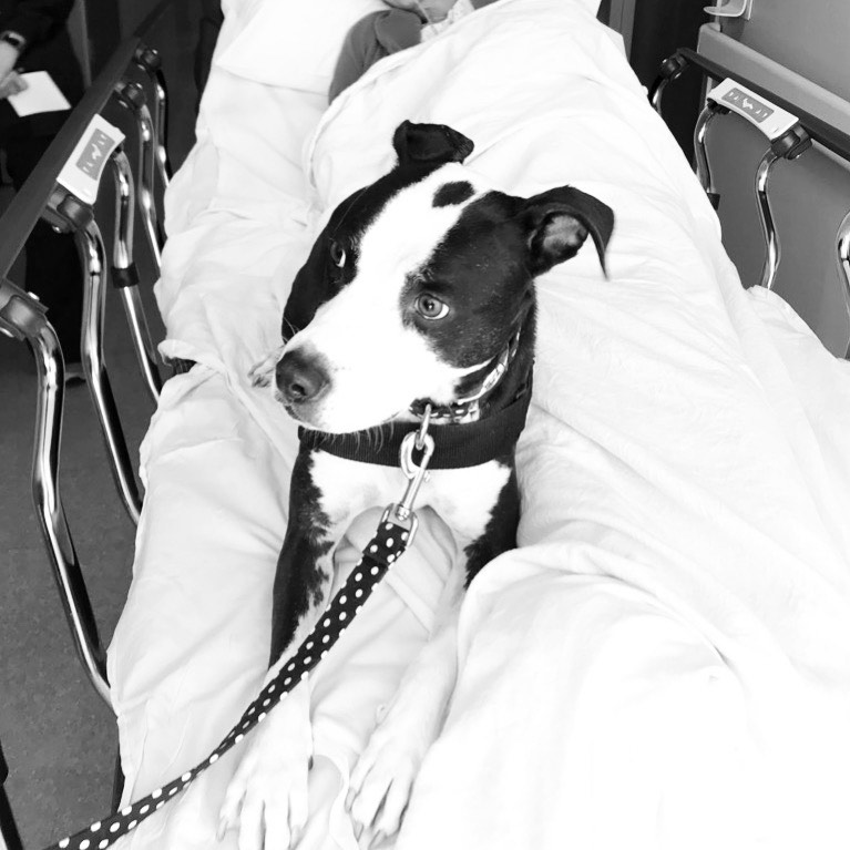 pit bull mix working as a therapy dog, sitting in a hospital bed with a patient
