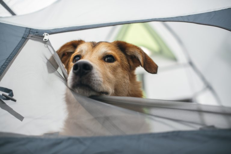 dog poking its head out of a tent, resting it on the door flap