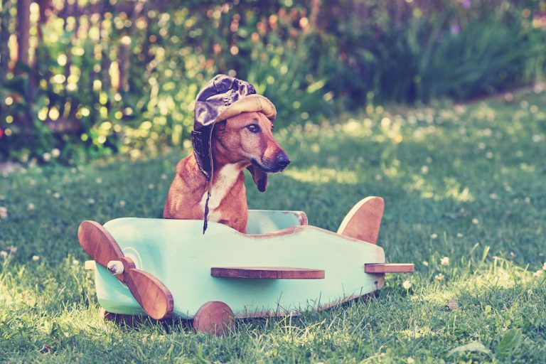 Dachshund appearing to pilot small airplane
